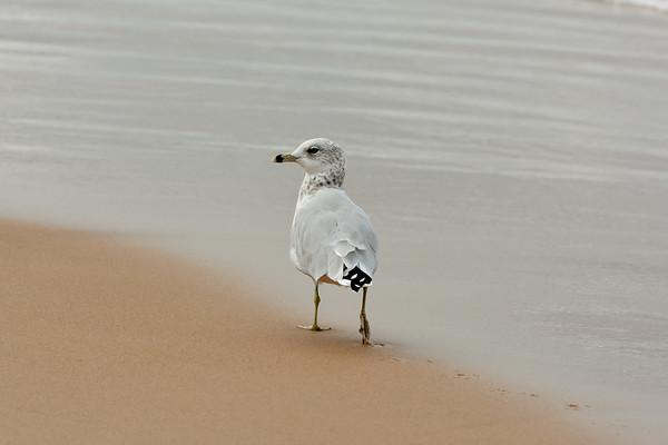 Ring-billed Gull, Strolling ~ Larus delawarensis ~ Old Saugatuck
