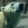 polar bear, enjoying his swim