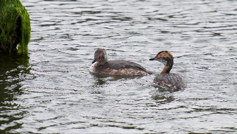 Horned Grebe, transitioning into breeding plumage ~ Podiceps auritus ~ Southern Outer Banks