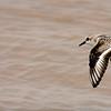 Sanderling ~ Calidris alba ~ Old Saugatuck, Michigan