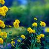 yellow blossoms ~ Michigan