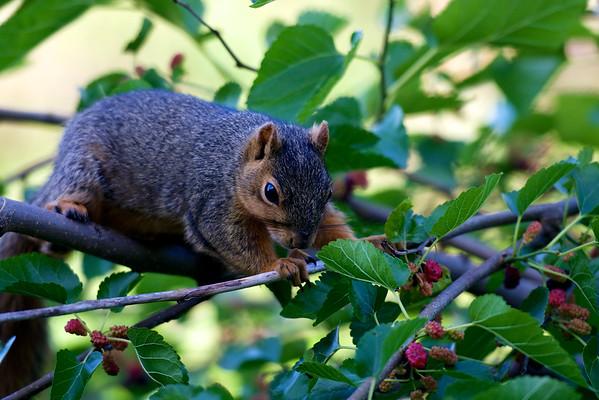 mulberry-hunting ~ Michigan