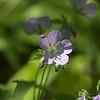 Woodland Geranium ~ Huron River Watershed, Michigan