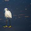 Snowy Egret ~ egretta thula ~ Eastern Seaboard