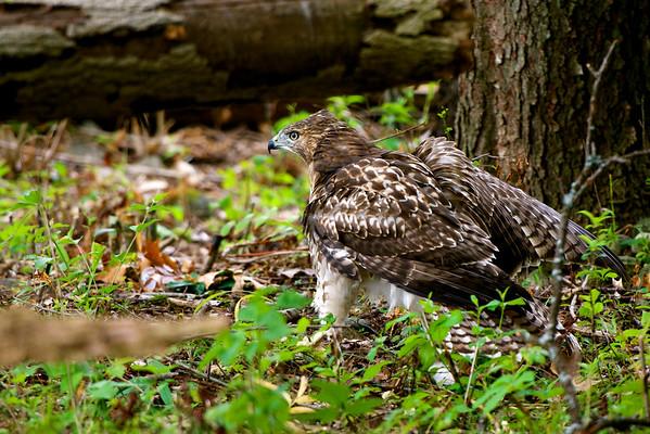 Red-tailed Hawk ~ Buteo jamaicensis ~ Huron River Watershed, Michigan
