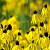pinnate prairie coneflower ~ Michigan