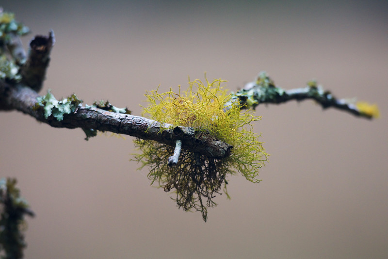 lichen ~ Southern Outer Banks