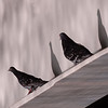 Feral Rock Pigeons in the Morning Sun ~ Columba livia ~ Huron River