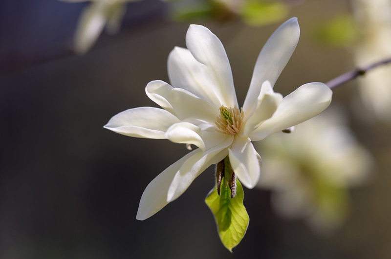 Magnolia Blossom ~ Huron River and Watershed