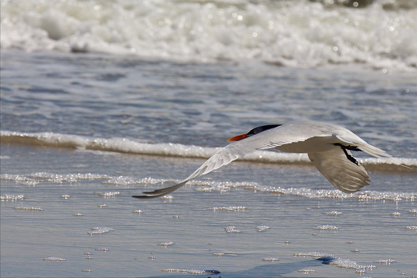 Royal Tern in Flight ~ Thalasseus maximus ~ Southern Outer Banks