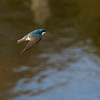 Tree Swallow ~ Tachycineta bicolor ~ Southern Outer Banks