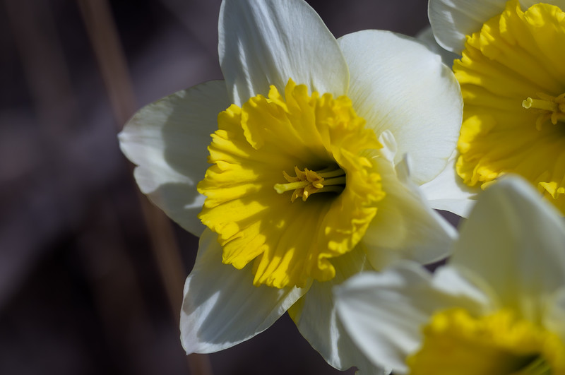 Daffodils ~ Huron River and Watershed