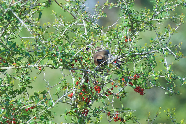 Berry Brush, with Cedar Waxwings Feasting ~ Bombycilla cedrorum ~ Croatan National Forest, North Carolina