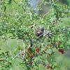 Berry Brush, with Cedar Waxwings Feasting ~ Bombycilla cedrorum ~ Croatan National Forest, North Carolina