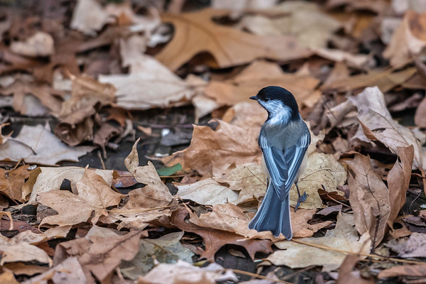 Black-capped Chickadee ~ Poecile atricapillus ~ Huron River and Watershed