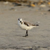 Sanderling ~ Calidris alba ~ Southern Outer Banks