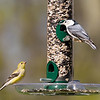 American Goldfinch ~ Spinus tristis; White-breasted Nuthatch ~ Sitta carolinensis ~ Huron River and Watershed