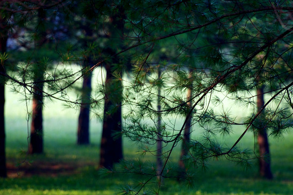 sunlight and mist through the pines ~ Michigan