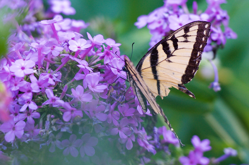 papillon ~ perhaps an Eastern Tiger Swallowtail ~ Michigan