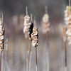 Cattails ~ Huron River Watershed
