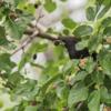 European Starling ~ Sturnus vulgaris ~ Michigan