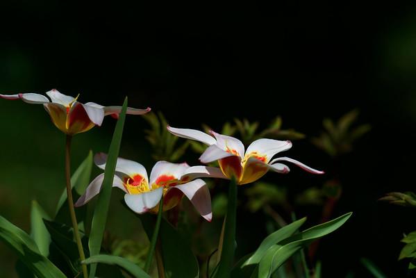 rock garden tulips ~ Michigan