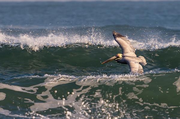 Brown Pelican, Atlantic ~ Pelecanus occidentals ~ Emerald Isle, North Carolina