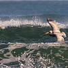 Brown Pelican, Atlantic ~ Pelecanus occidentals ~ Emerald Isle, North Carolina