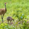 Adopted Canada Gosling and Mama Sandhill Crane ~  Branta canadensis, Antigone canadensis ~ Kensington Metropark, Michigan