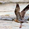 American Herring Gull ~ Larus argentatus smithsonianus ~ Lake Michigan
