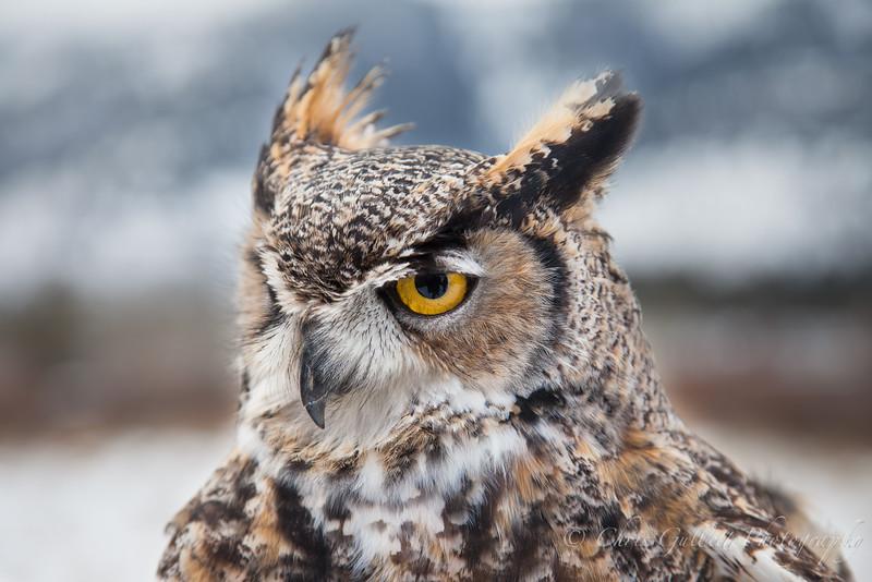 Jackson Owl