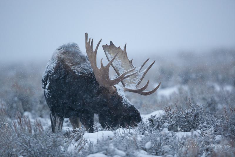 Jackson Moose 3