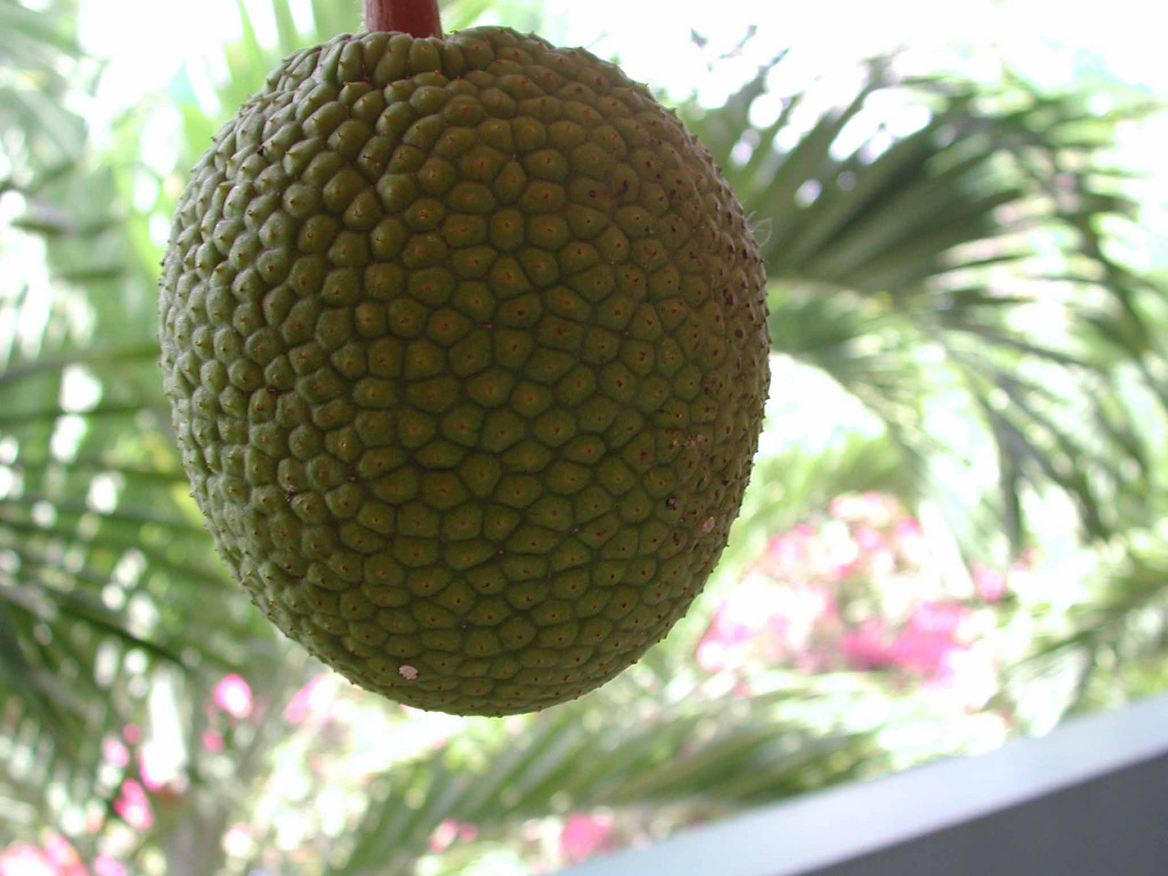 "a likkle breadfruit -- Artocarpus altilis, a flowering tree in the Mulberry family (Moraceae) is one of the highest yielding food plants in the world<br /> <br /> Marquesan islanders made a fermented pudding called 'ma' from breadfruit in stone-lined, air-tight pits in the ground, a food preservation practice common among many south pacific people, capable of preserving breadfruit for years to prevent famine.  Herman Melville ate ma for a month with the Marquesans after he deserted his ship in Nukuhiva in 1841, and later wrote in his book Typee:  ""after the lapse of a few days I became accustomed to its singular flavor, and grew remarkably fond of it.""<br /> <br /> British colonial administrators introduced breadfruit to the Caribbean as a cheap, high-energy food source for slaves.  In 1787 William Bligh was made captain of the Bounty and tasked with exporting the plants from Tahiti to the West Indies.  Bligh survived the infamous mutiny during that mission to complete a second expedition in 1791, when breadfruit plants were delivered to St Vincent in Jamaica and St Helena in the South Atlantic.  He also collected samples of the ackee fruit tree native to Jamaica, later named Blighia sapida.  Bligh's tomb is topped with a breadfruit."