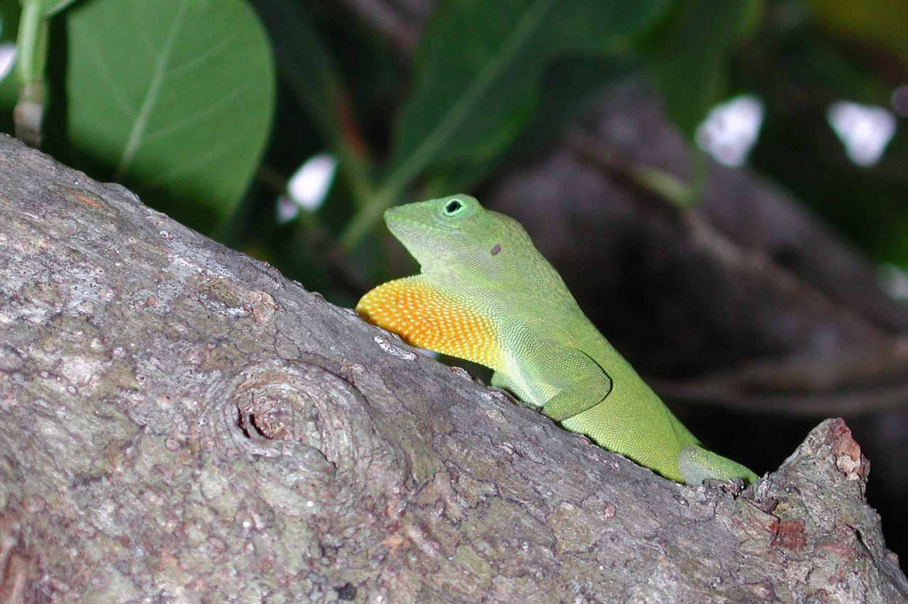 Jamaican Giant Anole (m) -- Anolis garmani<br /> <br /> Now when I was a little boy, <br /> At the age of five, <br /> I had somethin in my pocket,<br /> Keep a lotta folks alive...