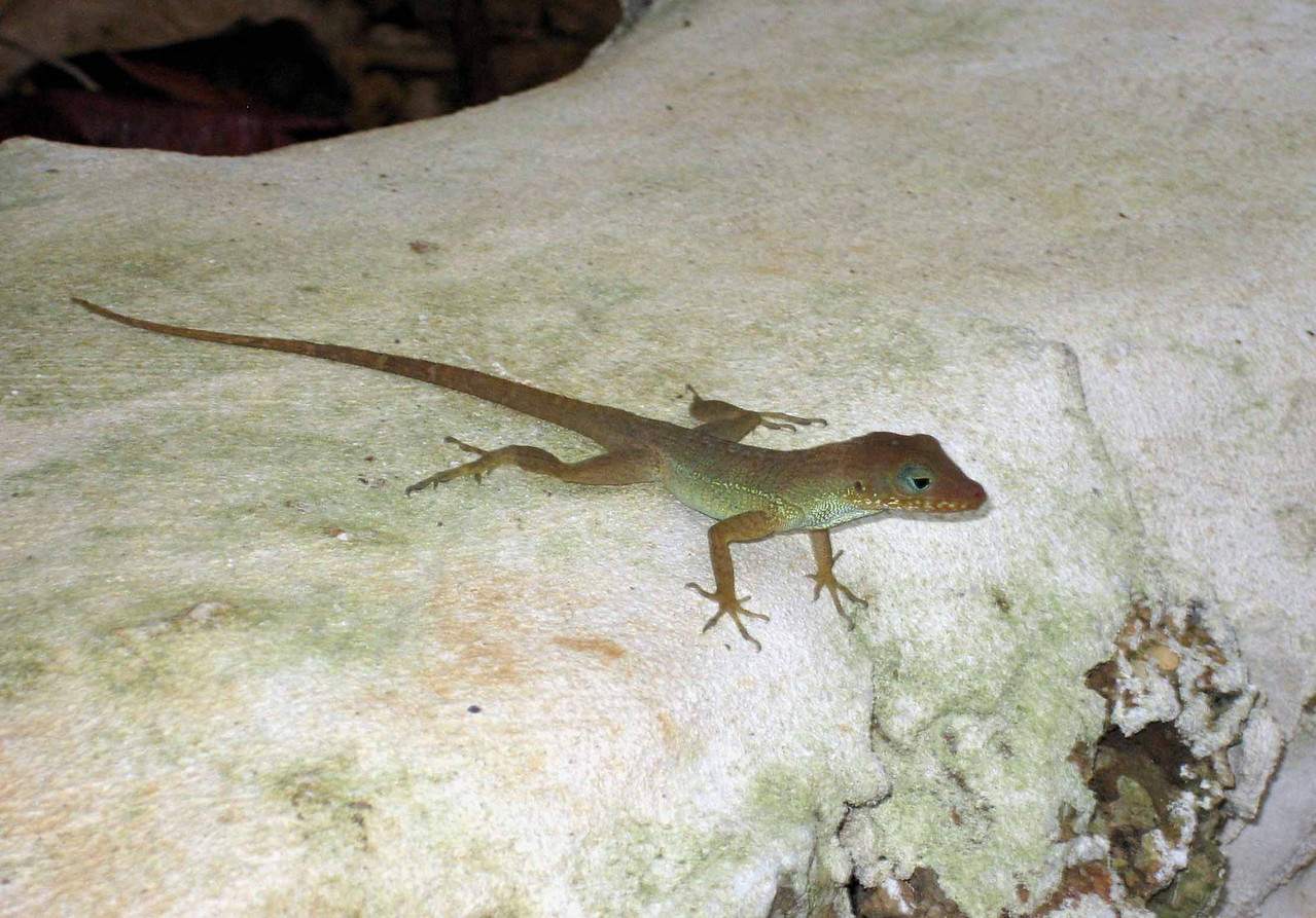 Jamaican Brown Anole -- Anolis lineatopus