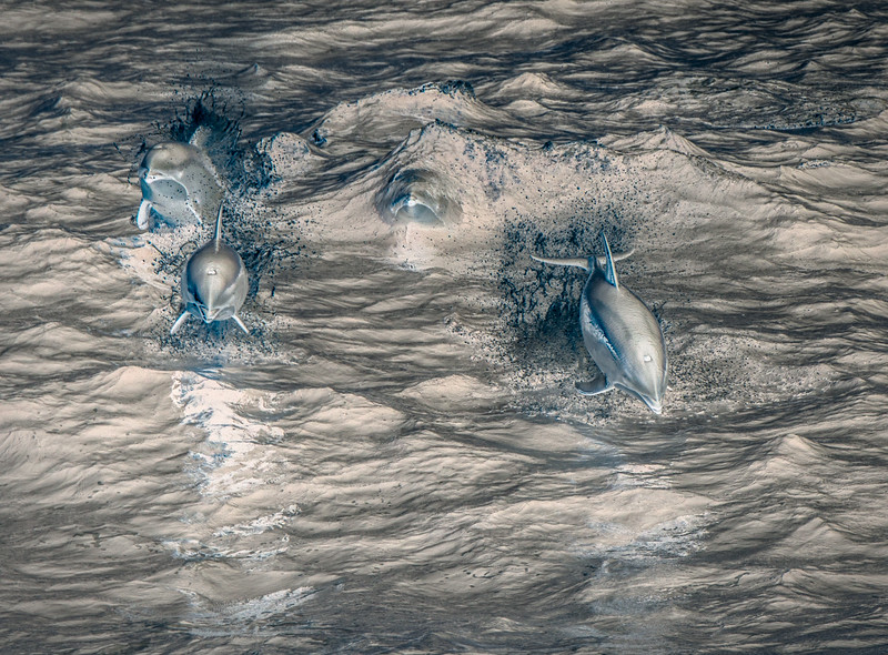 Dolphins, west Coast of Japan; Abstract