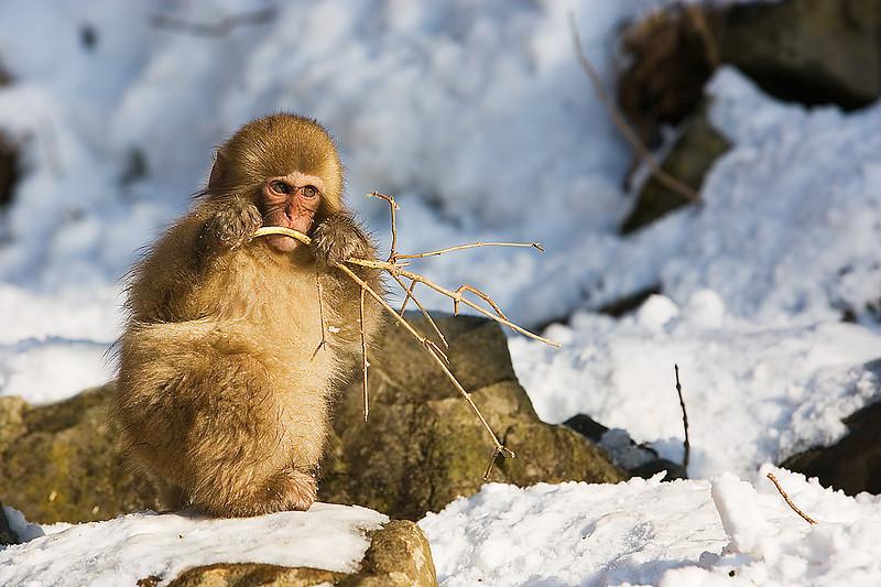 Young Snow monkey. John Chapman.