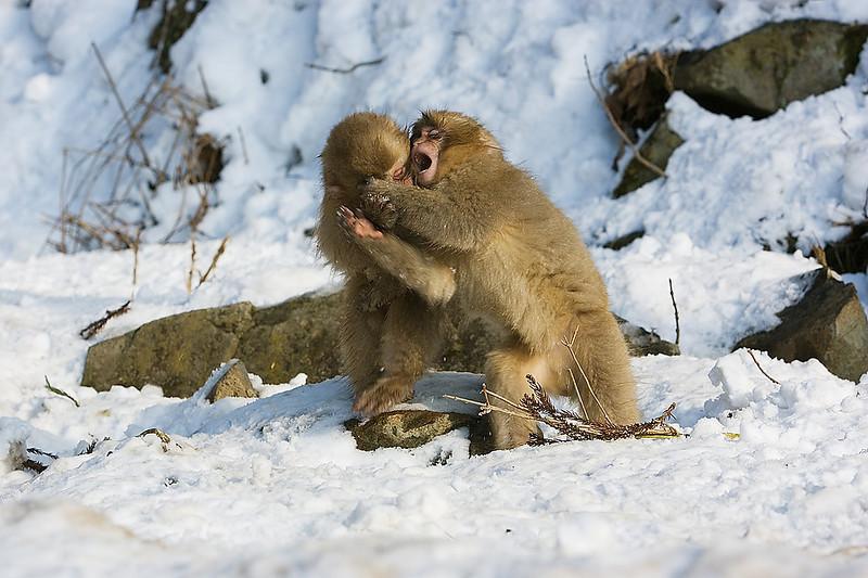 Baby Snow Monkeys playing. Japan. John Chapman.