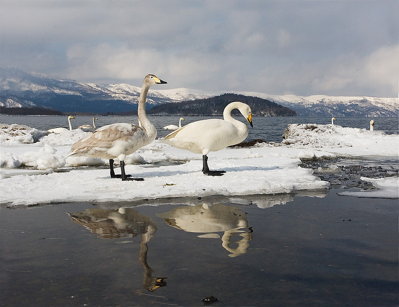 Adult and Cygnet Whooper Swans. John Chapman.