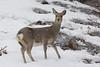 Sitka Deer.
