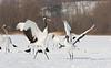 Cranes Dancing. Japan. John Chapman.