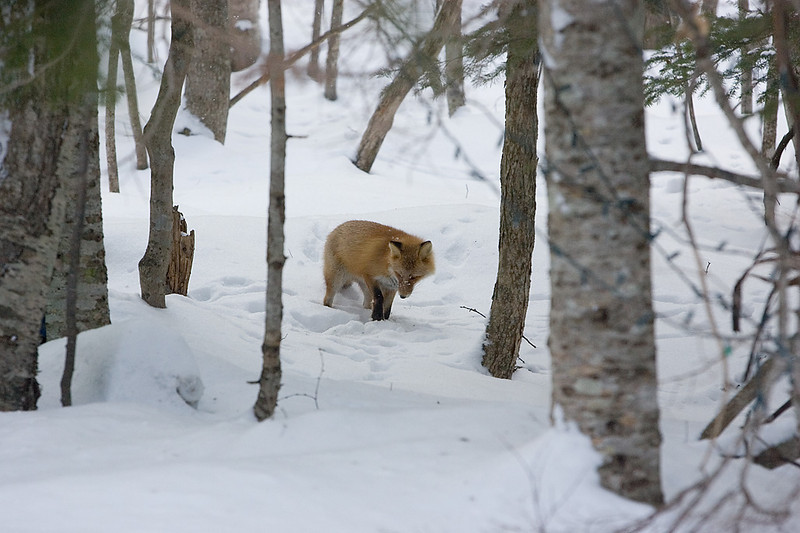 Red Fox. Japan. John Chapman.