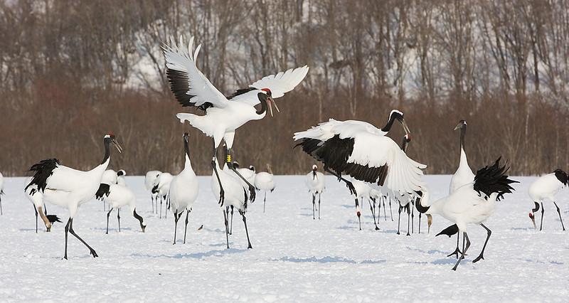 Japanese Cranes. John Chapman.