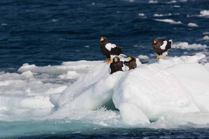 Stellers Eagles on Ice Flow.