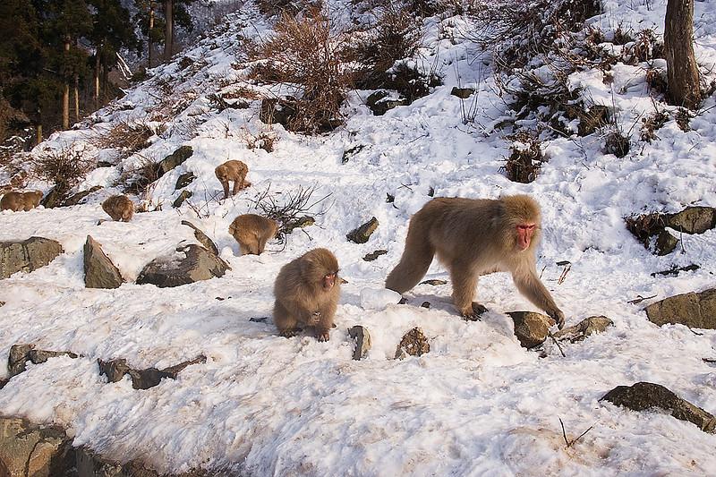 Snow Monkeys. Japan. John Chapman.