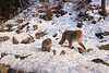 Snow Monkeys. Japan. John Chapman.