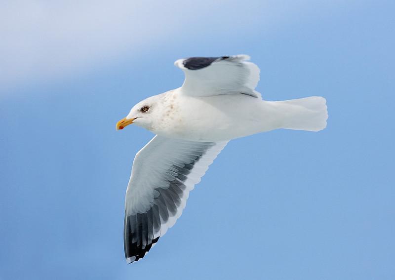 Slaty Backed Gull. John Chapman.
