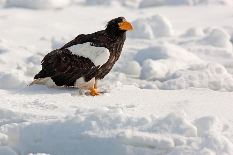 Stellers Eagle Japan.