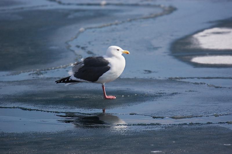Gull in Japan. John Chapman.