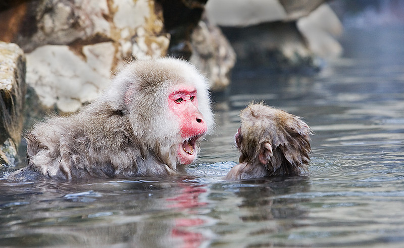 Snow Monkey with a Youngster. Japan. John Chapman.